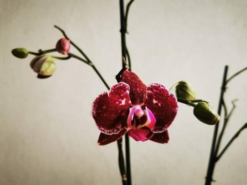 Zetadeuve en Hamelin: Flora  (Güímar), Phalaenopsis spp., #flora21   #tenerifelicidad