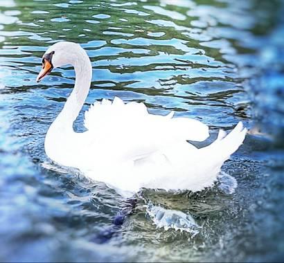 Naomi en Hamelin: Fauna  (Sabadell), Cygnus olor (Gmelin, 1789), #cisne#hembra#belleza#lago#invierno20 🦢