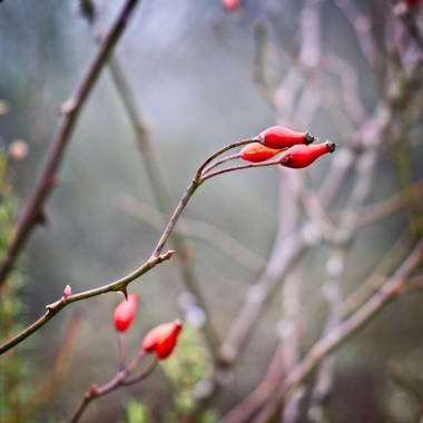 Carlos.soy en Hamelin: Flora  (Manzanares el Real)