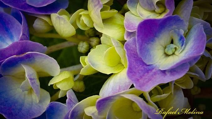 Rafael Molina  en Hamelin: Flora  (Málaga), Hydrangea spp., #flor #fotografiaflora#Málaga #Andalucia