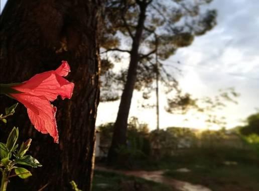VickyOnTheRocks en Hamelin: Flora  (Liria), #hibiscus #mijardin #pinos #hibisco