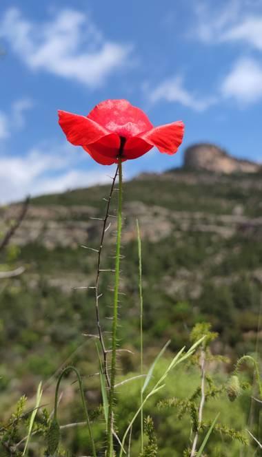 aidalzira en Hamelin: Flora  (Cortes de Pallás), Papaver rhoeas,  #flora21 #flora  Papaver rhoeas L., 1753, la amapola silvestre, es una especie fanerógama...