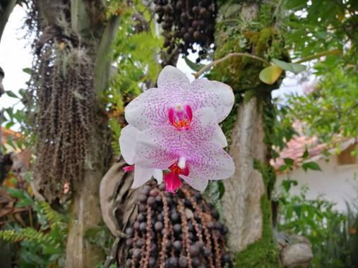 fjavidaza98 en Hamelin: Flora, Phalaenopsis spp., Orquídea manchada