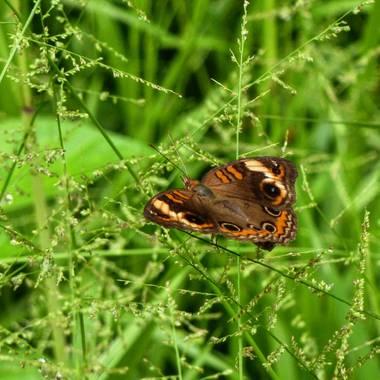 rqsalcedo en Hamelin: Fauna  (Lima), #mariposas