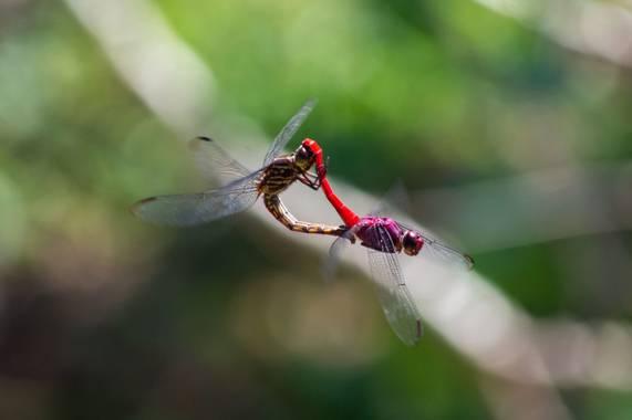 Camiloacca90 en Hamelin: Fauna  (Puerto Lleras), #libelulas #insectos #fauna #nature #naturaleza #apareamiento #colombia #orinoquia