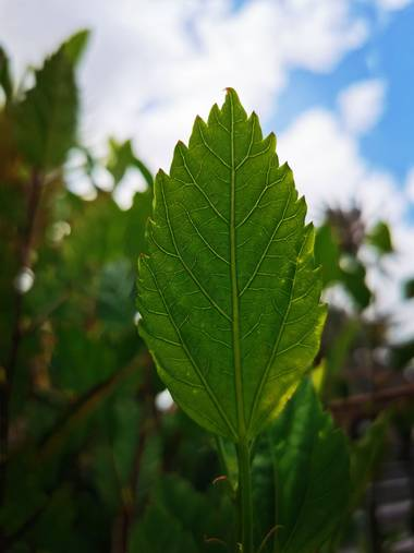 Toti Suárez en Hamelin: Flora  (Telde), Hoja #hamelin #hoja #grancanaria #vegetacion #macro #hamelinmacro21