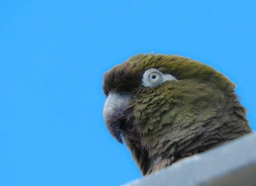Rodrigo Tejeiro en Hamelin: Fauna  (Balneario Las Grutas), Cyanoliseus patagonus (Vieillot, 1818), #aves21