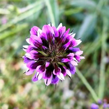 Medea127 en Hamelin: Flora  (El Ronquillo), Bituminaria bituminosa, Conocida como Trébol hediondo #flora21
