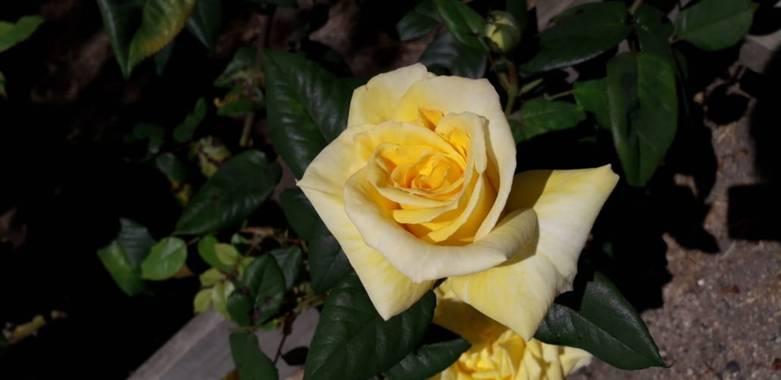 Génesis Gacitua  en Hamelin: Flora, Rosa chinensis