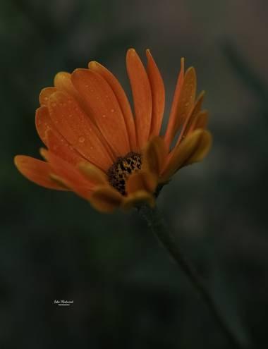 Lidia__lmr38 en Hamelin: Flora  (Zaragoza), Las flores naranjas tienen anclado su significado a las implicaciones psicológicas y simbólicas del propio colo...