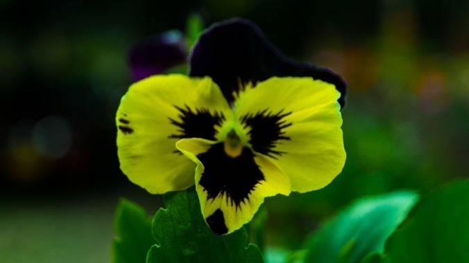 Sami  en Hamelin: Flora  (Supata), Viola x wittrockiana, Pensamientos