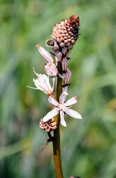 Creandoaficiones en Hamelin: Flora, Gamón blanco