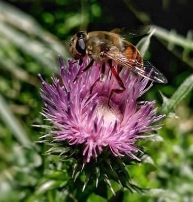 Cr93734 en Hamelin: Fauna  (Ciudad de Buenos Aires), Eristalis es un numeroso género de dípteros braquíceros de la familia Syrphidae (moscas de las flores)...