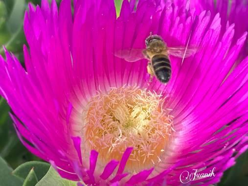 Juanih.espi en Hamelin: Flora  (Murcia), Carpobrotus edulis, 🌸🐝