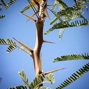 Navarroarevalomariateresa en Hamelin: Flora  (Viesca), Espinas del mezquite!