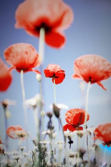Conbyconv en Hamelin: Flora, #parquesyjardines  #flores #amapolas