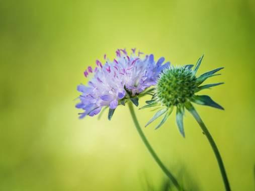 Tomasbejar en Hamelin: Flora  (Alcoy), #flor