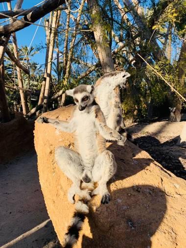 carogv1995 en Hamelin: Fauna, #Fauna #lemur #meditando #animales