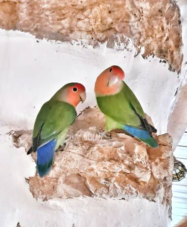 gisca72 en Hamelin: Fauna, Agapornis roseicollis (Vieillot, 1818), #aves21