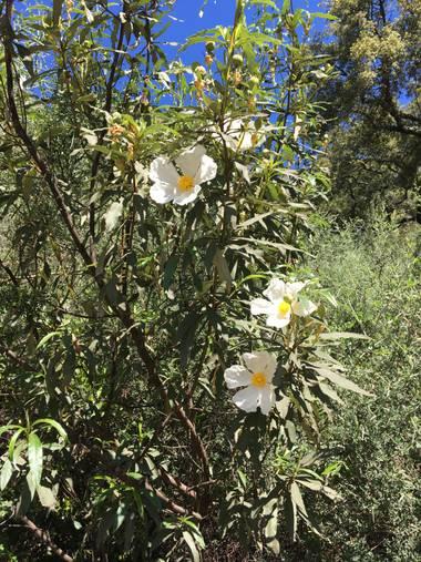 auricahk en Hamelin: Flora, Cistus ladanifer, Costa Del Sol