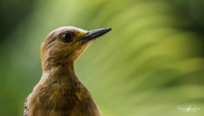 sinisterra2009 en Hamelin: Fauna, Melanerpes rubricapillus (Cabanis, 1862), Carpintero habado, Melanerpes rubricapillus