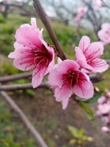 insecavivasjheidyyulied en Hamelin: Flora, Prunus persica, #flor de durazno