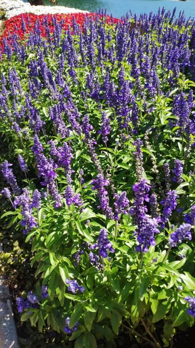 Isabel A. en Hamelin: Flora  (Lugano), Salvia farinacea, #flora21