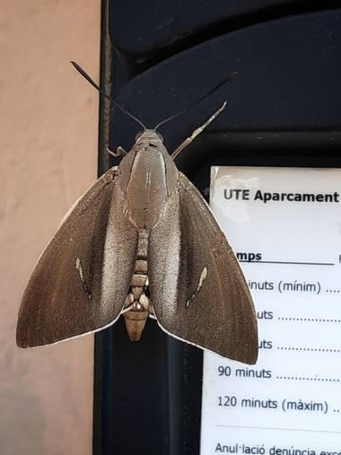 Manelsersol en Hamelin: Fauna  (Olot), Quizàs aún no ha sacado el ticket?? #Fauna #garrotxa #Mariposas #Alados #Papillon