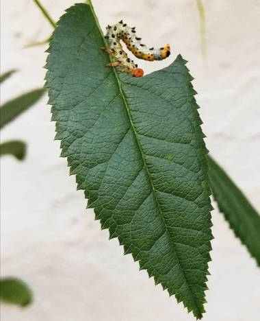 VickyOnTheRocks en Hamelin: Flora  (Liria), #rosalsilvestre #larvaavispa #oruguitas #devoradoras #bebes #insectos