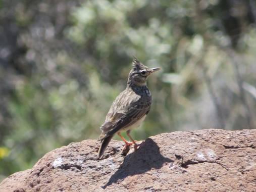 Solerantonio2 en Hamelin: Fauna  (Níjar), Galerida theklae A.E.Brehm, 1857, Cogujada montesina los escullos almeria