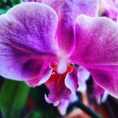 Naomi en Hamelin: Flora  (Barcelona), Phalaenopsis spp., 🌸
