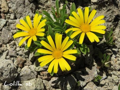 Loso.azu13 en Hamelin: Flora  (Almería), Pallenis maritima, #flora21