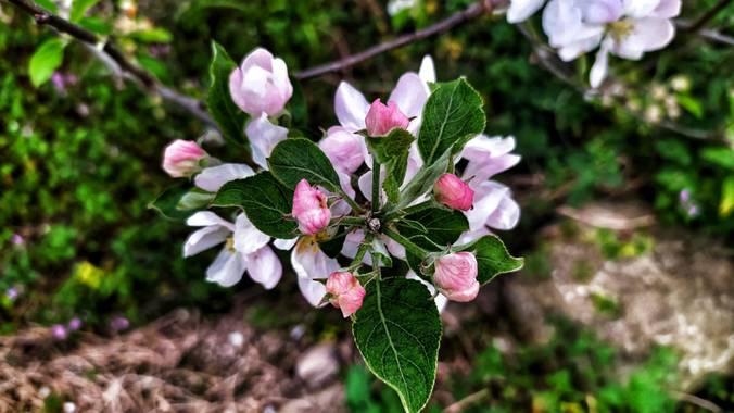 Sortueta en Hamelin: Flora  (Castro-Urdiales), Protegiendo su belleza con sus pequeños deditos firmemente cerrados
