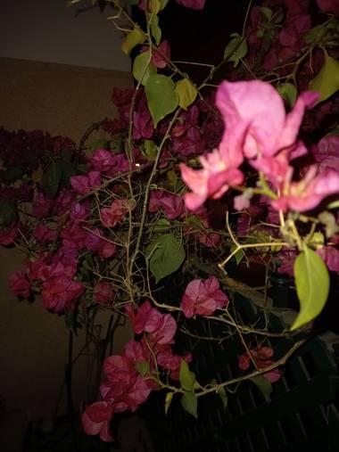 Enrique71as en Hamelin: Flora, Bougainvillea glabra, Rosa y Verde