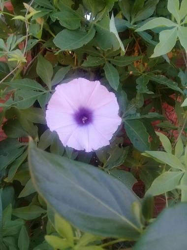 Supra3179 en Hamelin: Flora  (Chajarí), Ipomoea cairica, Disfrutando lo que la naturaleza nos da dia a dia 💜