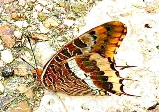 su en Hamelin: Fauna  (Gelves), Mariposa del madroño
