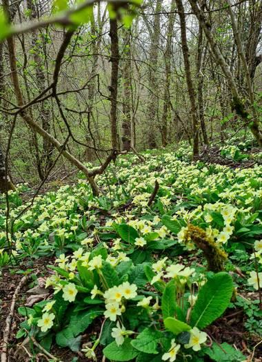 Marijohz en Hamelin: Flora  (Ezcaray), Primula vulgaris, Alfombra de primulas