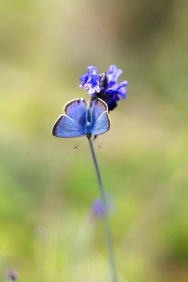 Juankafv en Hamelin: Fauna  (Málaga), Tan pequeñas pero tan bellas.  #mariposa  #butterfly #colores #verde #color #photography #macrofotografia #macro #cam...