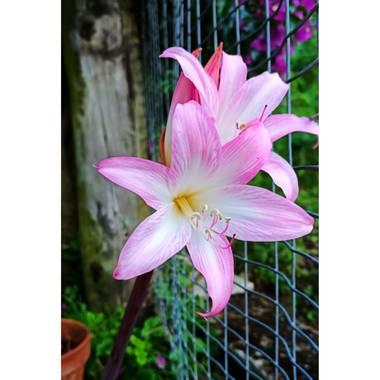 raquelarriola15 en Hamelin: Flora  (A Coruña), Amaryllis belladonna, Amaryllis Belladonna flor de mi jardín que aparece siempre por septiembre y que le enc...