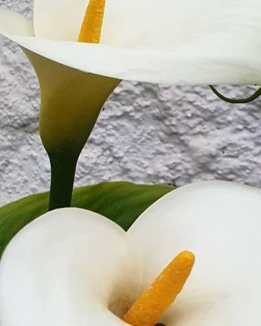S.- en Hamelin: Flora  (Almenara), Zantedeschia aethiopica, #MiCorazón #Fotógrafa #Fotografía2021 #Macro #Flores #Calas #MiJardín #CercaDeMi #SinFiltros #S...