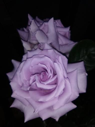 dalopri_ en Hamelin: Flora  (Segovia), Rosa chinensis, #flora21