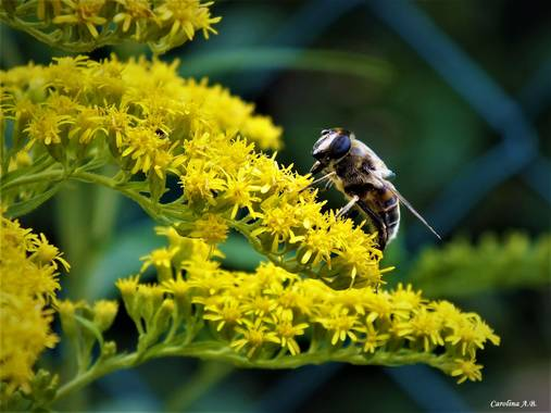carol_ab1 en Hamelin: Fauna  (Santa Cruz del Valle Urbión), Polinización #hamelin  #flora  #fauna  #polinización  #abeja #bees  #burgos  #santacruzdelvalle...