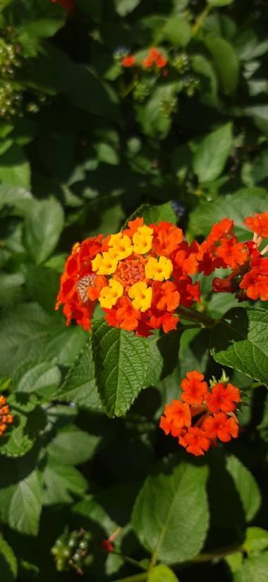 Duantria en Hamelin: Flora  (Anievas), Lantana camara, Esta planta es nativa de Centroamérica y Sudamérica. Según la wikipedia la lantana cámara está inclu...