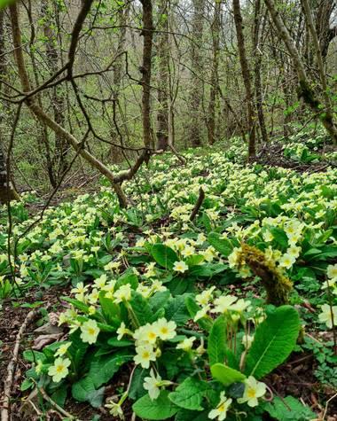 Marijohz en Hamelin: Flora  (Ezcaray), Primula vulgaris, Alfombra amarilla en el bosque