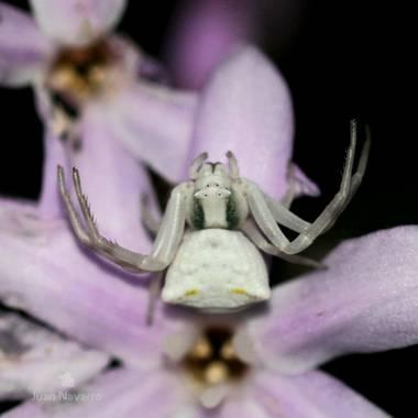 juan_ng en Hamelin: Fauna  (Jerez de la Frontera), Thomisus onustus Walckenaer, 1805, Una preciosa araña cangrejo esperando