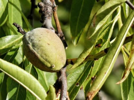 mariale en Hamelin: Flora, Prunus dulcis, 📸 #marialemdza #Naturaleza #BellezaNatural  Provincia de Zamora, primavera 2021.