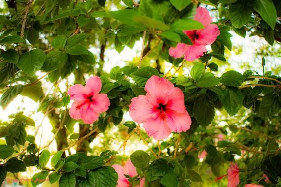 Greta franco beguan en Hamelin: Flora  (Resistencia), Hibiscus rosa-sinensis, #Photos  #Pictures  #Photography  #Fotografias  #Photographs  #Naturaleza  #N...