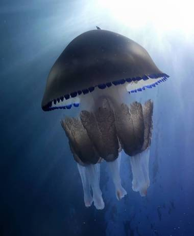 Elisendafv8 en Hamelin: Fauna, #jellyfish #sea #nature