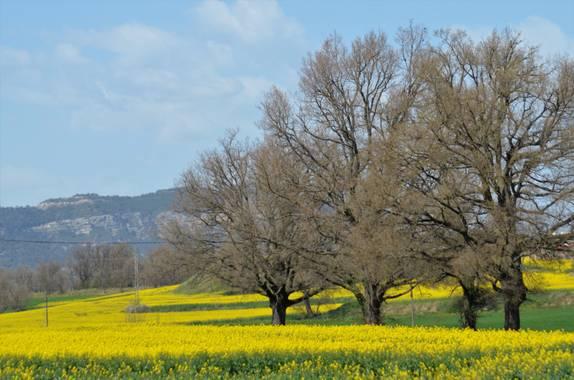 Azulmarino  en Hamelin: Paisaje  (Les Masies de Voltregà), Campo de colza #frommypointofview #naturaleza #natura #colza #campo #primavera