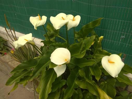 GreenPhoto en Hamelin: Flora, Zantedeschia aethiopica